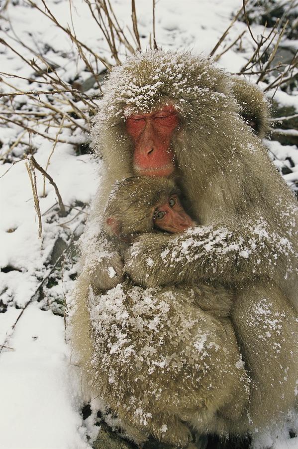 * Japanese macaques (Macaca fuscata), mother & baby, Jigokudani, Japan