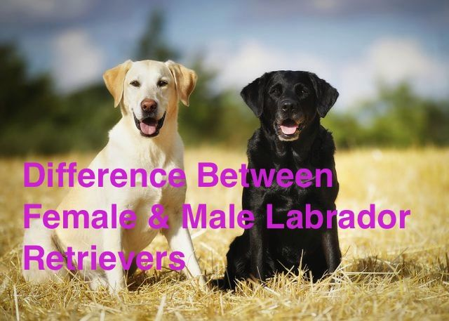 Difference Between Female Male Labrador Retrievers Labrador