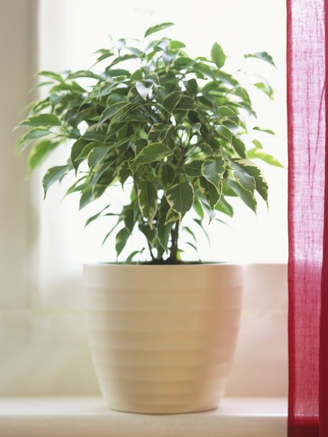 FICUS - Why you want it: This indoor tree has shiny leaves to add cheer to any indoor space. Its stems can be braided for a tidy topiary effect we love.    How to care for it: This tree likes full sun, or at least bright filtered light. Most varieties (there are about 800!) prefer several days of dry soil in between thorough watering. Room temperatures between 65 to 75 degrees work best.
