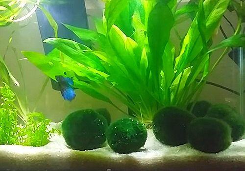 17 best ideas about betta tank on pinterest betta fish for Betta fish plant