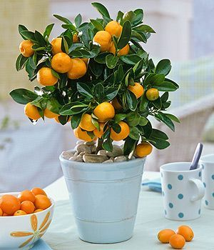 calamondin orange trees grows indoor with lots of sunlight---mySUNROOM is perfect!-had for two years now!