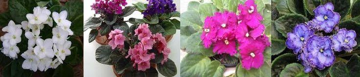 Como Cultivar Violetas Dicas de rega, como Plantar violeta, cuidados para replantar, fazer mudas de violeta, regar, iluminação ideal para violetas, cores