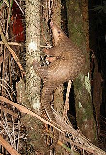 """A pangolin (play /ˈpæŋɡəlɪn/) (also referred to as a scaly anteater or trenggiling) is a mammal of the order Pholidota. The one extant family, Manidae, has one genus, Manis, which comprises eight species. A number of extinct species are known. A pangolin has large keratin scales covering its skin, the only mammal with this adaptation.[2] It is found naturally in tropical regions throughout Africa and Asia. The name, pangolin, comes from the Malay word, pengguling, meaning """"something that…"""