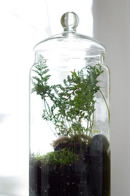 17 best images about terrarium on pinterest maidenhair fern ferns and african violet. Black Bedroom Furniture Sets. Home Design Ideas