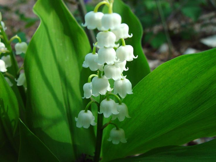 Convallaria majalis aka Muguet aka Lily of the Valley