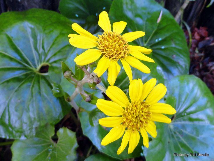 Tractor Seat Fuzzy Variegated Plants : Best garden plan frontyard images on pinterest