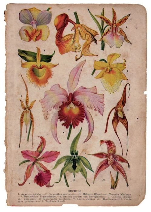 Antique botanical - orchids: Botanical Prints, Art Photography, Botanical Drawings, Botanical Illustrations, Orchids Prints, Vintage Floral, Botanical Inspiration, Floral Botanical, Flowers Charts