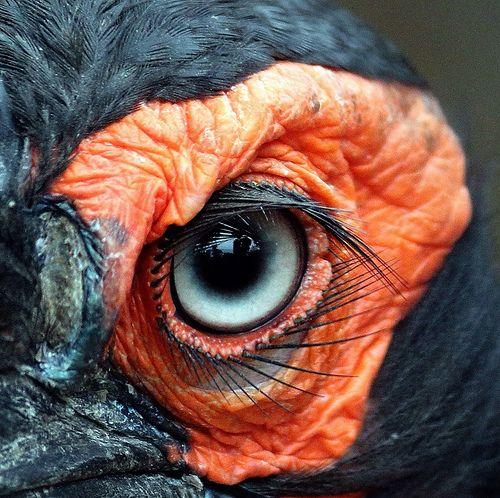 Ojos de calao. Los bucerótidos son una familia de aves coraciformes que engloba a los tocos y cálaos, aves tropicales de gran pico que se distribuyen por Melanesia, Asia y África.