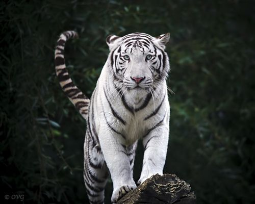 40 best tigers images on Pinterest Big cats, Tigers and Wild animals - copy lsu tigers coloring pages