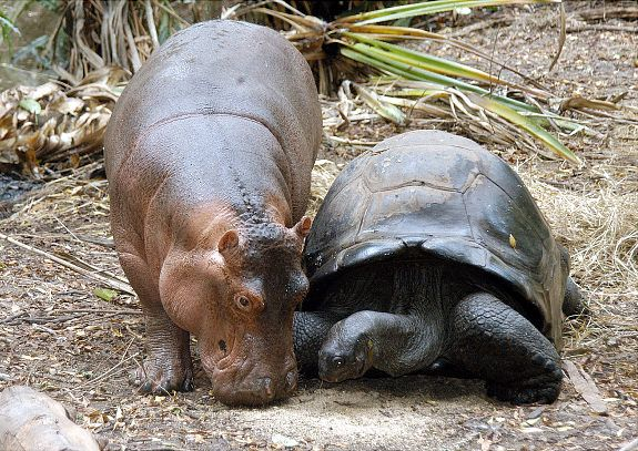 "A baby hippo named Owen walks along with its ""mother,"" a giant male Aldabran tortoise, at the Mombasa Haller Park in Mombasa, Kenya .The odd couple have stayed together now for one year after they got together after Kenya Wildlife Service.  Rangers rescued the baby hippo in the sea off Malindi after the Asian tsumani reached the Kenyan shore and separated the calf from its mother. <3"
