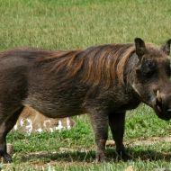 Warthog (Phacochoerus africanus), Bale Mountains National Park, Oromia region, Ethiopia 2010