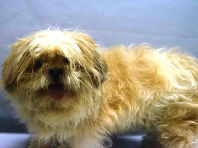 ELVIS IS SAAFE❤️ - 11/14/16 - **SENIOR** - Super Urgent Manhattan - ELVIS - #A1096483 - NEUTEREDMALE WHITE/TAN SHIH  TZU MIX, 14 Yrs - OWER SUR - ONHOLDHERE, HOLD FOR ID Reason NO TIME - Intake 11/10/16 Due Out 11/10/16 - CAMEIN WITH TARA #A1096484 - ALLOWS ALL HANDLIG BUT TENSE