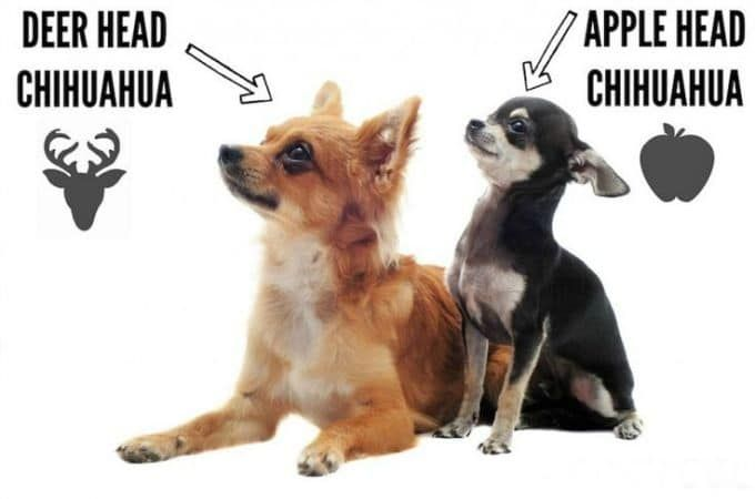 Apple Head vs Deer Head Chihuahua: Know the Difference [Guide] #CoffeePuppy #CookingForDogs http://snip.ly/r46p3