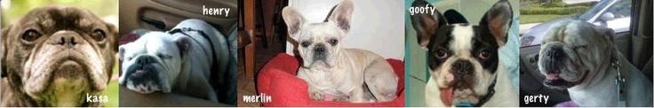 Help us raise money for bulldog rescue! Check out details at http://www.bestpetstickers.com/bulldog_bumper_sticker.html