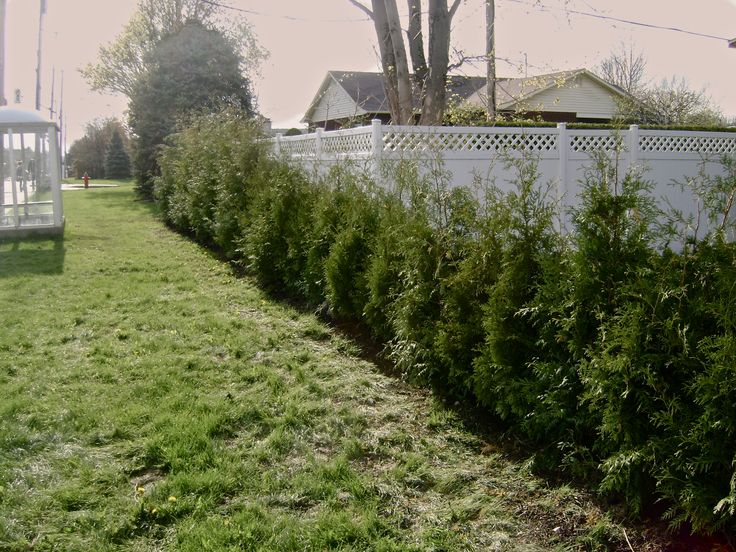 Cedar hedge - Jardin de Pierre
