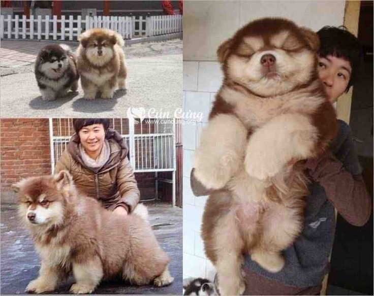 This dog is the impossibly perfect mix of the chow chow and the Siberian husky.