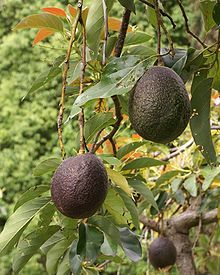 ~ History of the  Avocado (Persea americana) is a tree native to Central Mexico,classified in the flowering plant family Lauraceae along with cinnamon, camphor and bay laurel. Avocado or alligator pear also refers to the fruit (botanically a large berry that contains a single seed[2]) of the tree, which may be pear-shaped, egg-shaped or spherical.  Avocados are commercially valuable and are cultivated in tropical and Mediterranean climates throughout the world. They have a green-skinned..
