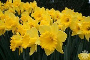 trumpet-daffodils