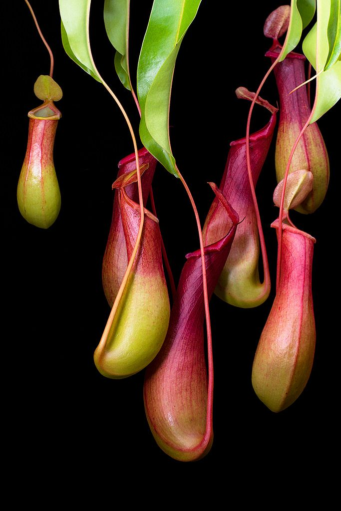 Tropical Pitcher Plant by A. Jaszlics Nepenthes alata