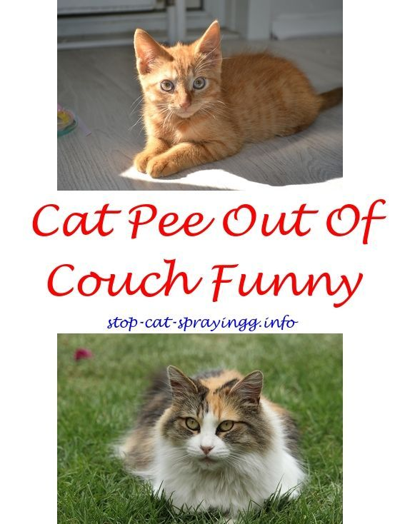 how do you get cat spray out of furniture confine spraying cat cat rh pinterest com