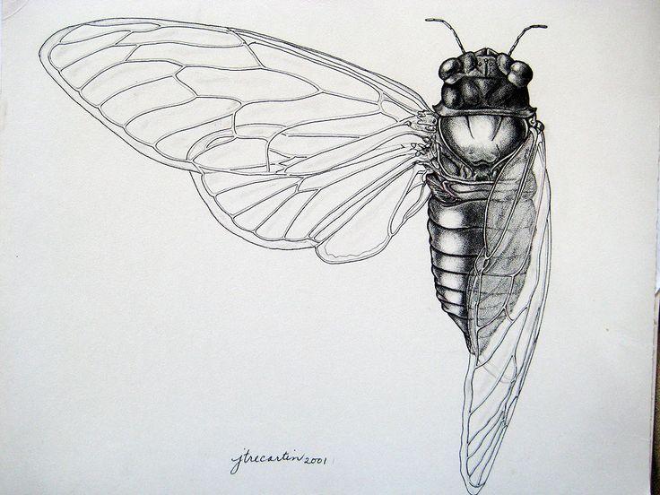 scientific illustration cicada – Google Search