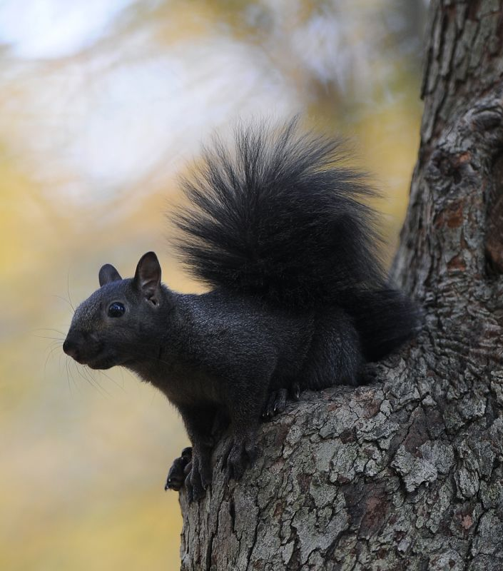 A black squirrel rests on a tree on the Front Campus section of the Kent State University Campus. Black squirrels are an un-official mascot of Kent State University. Photo taken by Jeff Glidden on Oct. 13, 2010.