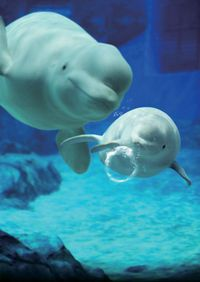 名古屋港水族館にはかわいい白イルカが。名古屋観光名所一覧。                                                                                                                                                                                 もっと見る