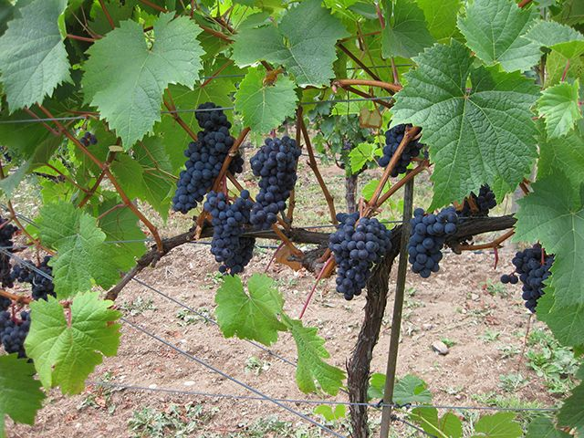 Cowichan Valley (Photo: SZInteriors) Blue Grouse Vineyard grapes