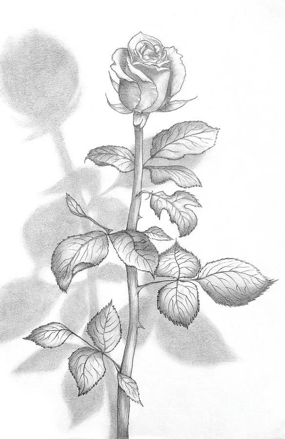 Art Photograph - Pencil Drawing Of A Beautiful Rose by Evelyn Sichrovsky
