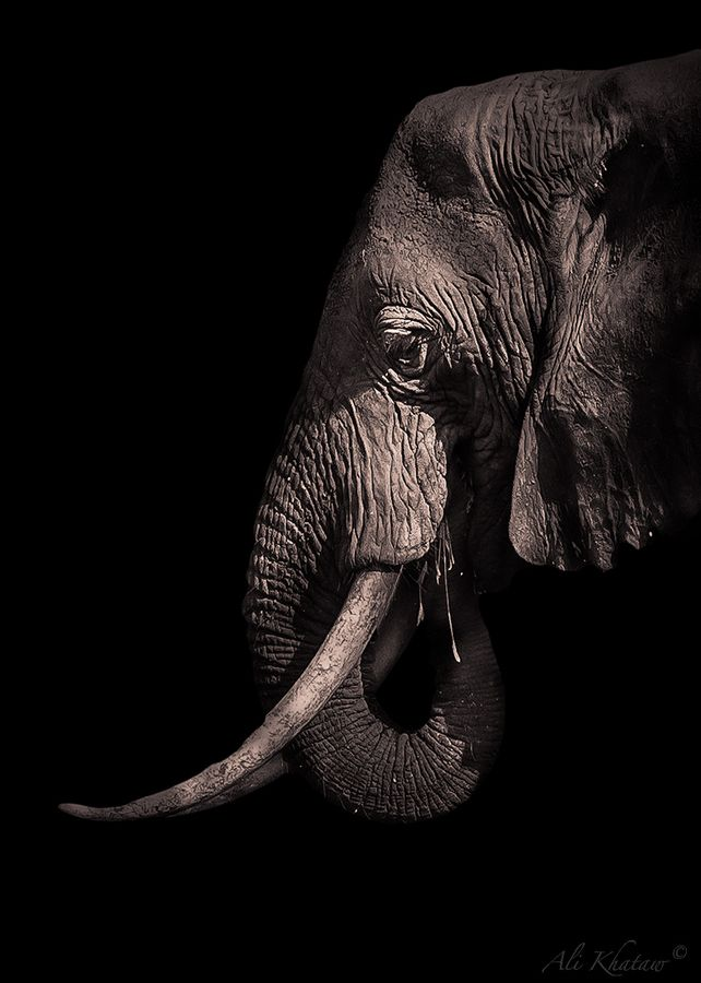 Elephant Portrait by Ali Khataw - stop the killing of Elephants for their tusks..... they are endangered, and soon there will be none....