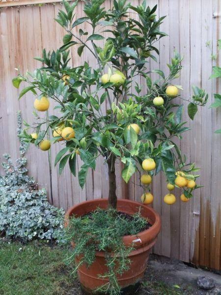 Gli alberi di agrumi non hanno bisogno di potatura per fruttificare bene (alberi maturi di limoni beneficiano di una potatura di ringiovanimento ogni...