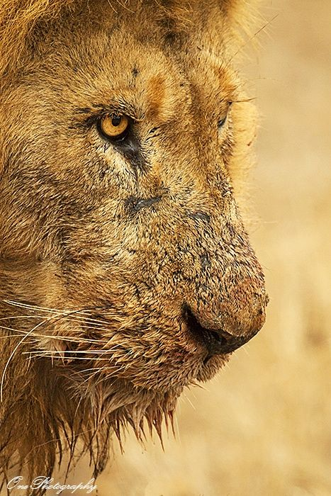 Lions are in constant battles and its not surprising that they pick up some nasty scratches. The lion pictured above had his fair share of scars, wounds from previous territorial battles. Photo Safaris - Southern Africa - www.onephotography.co.za