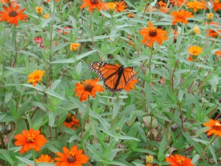 Butterfly garden- I recommend growing a butterfly garden! I can't wait to replant mine this spring. :-)