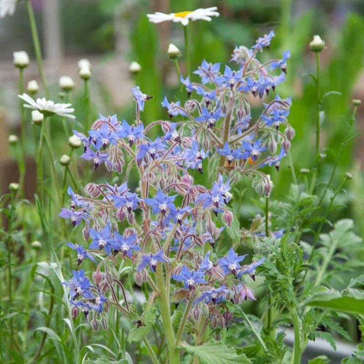 """Två örter, en perenn och en ettårig, båda med artepitetet officinalis. Officinalis är ett vanligt """"efternamn"""" på växter och anger att växten förr användes i medicinskt syfte."""