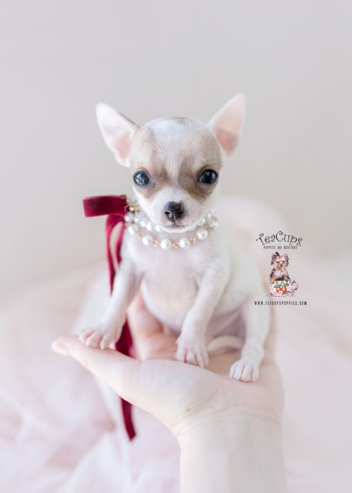 Teacup Chihuahua Puppy For Sale 390 C