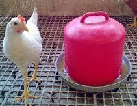 YUMURTALIK TAVUK-CİVCİV-HİNDİ: Kümes ekipmanlarıcivciv yemi - tavuk yemi-tavuk sulukları-tavuk yemlikleri