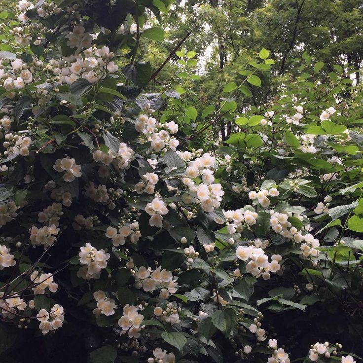 #jasmine #flower #flora #around #flowers #flowerstagram #summer #nature #bloom #blooming #garden #moscow #july #rainyday #прогулкипомоскве #прогулки #природа #прогулки #view #city #street #лето #цветение #цветы #сад #москва #июль #жасмин #чубушник http://misstagram.com/ipost/1554518199365955930/?code=BWSwhDuFnFa