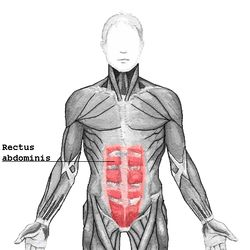 Rectus abdominis.pngOrigin	crest of pubis Insertion	Costal cartilage of ribs 5-7, xiphoid process of sternum Artery	inferior epigastric artery Nerve	segmentally by thoraco-abdominal nerves (T7 to T11) Actions	Flexion of the lumbar spine