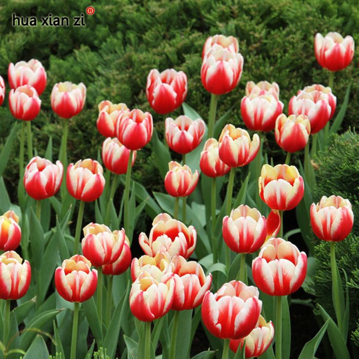 Icelandic Tulip Seeds Flower Bonsai Plant Red White  Perennial Home Garden 100Pc #MyLuckyHouse #Bonsai