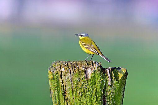Alvéola-Amarela, Pássaros Canoros