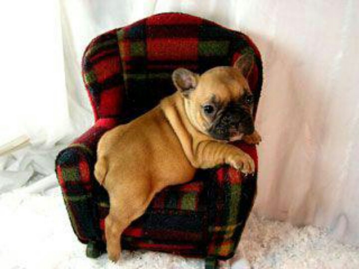 Sweet baby Frenchie  Angels with Paws  Pinterest