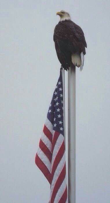 Majestic - The American Bald Eagle on top of the Stars and Stripes.   God Bless the USA.