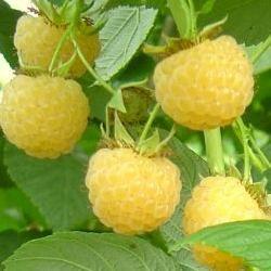 Framboisier Jaune - Vente Jeunes plants de Framboisier Jaune pas cher   Leaderplant