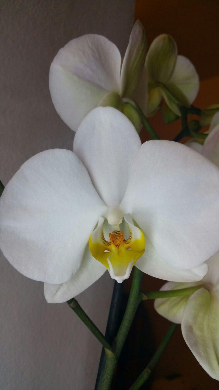 phalaenopsis bianca 13.11.2016