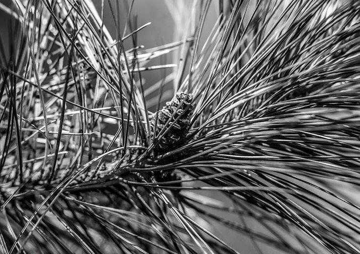 Olga Olay Photograph - Among The Needles by Olga Olay #OlgaOlayFineArtPhotography #ArtForHome #FineArtPrints #Bag #blackandwhite #tree