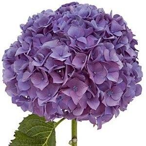 Save 10 Percent On Hydrangeas Purple