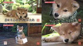【和風総本家】柴犬・豆助の画像【テレ東】 - NAVER まとめ
