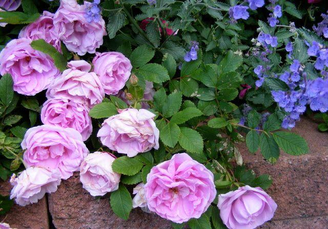I never promised you a rose garden - Mina rosor : Wasagaming | ROSES ...