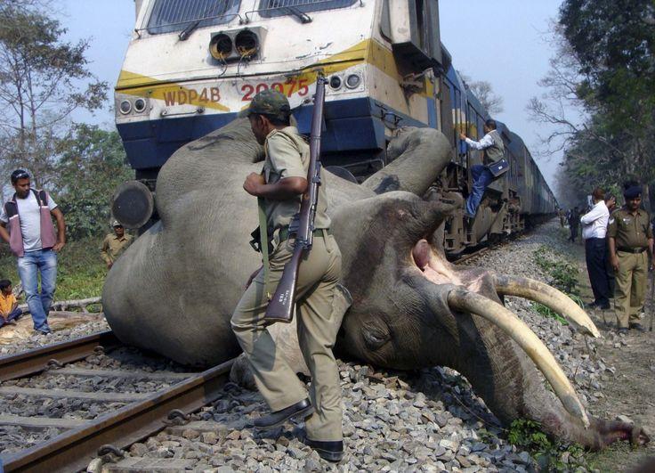 Słoń potrącony przez pociąg, rezerwat Buxa Tiger, Indie