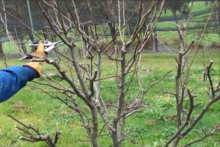 Pear Tree Pruning. Pear trees are best pruned in winter when they are dormant. There are several varieties of pear trees and habits of growth differ widely.